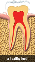 Healthy Tooth Illustration Vector